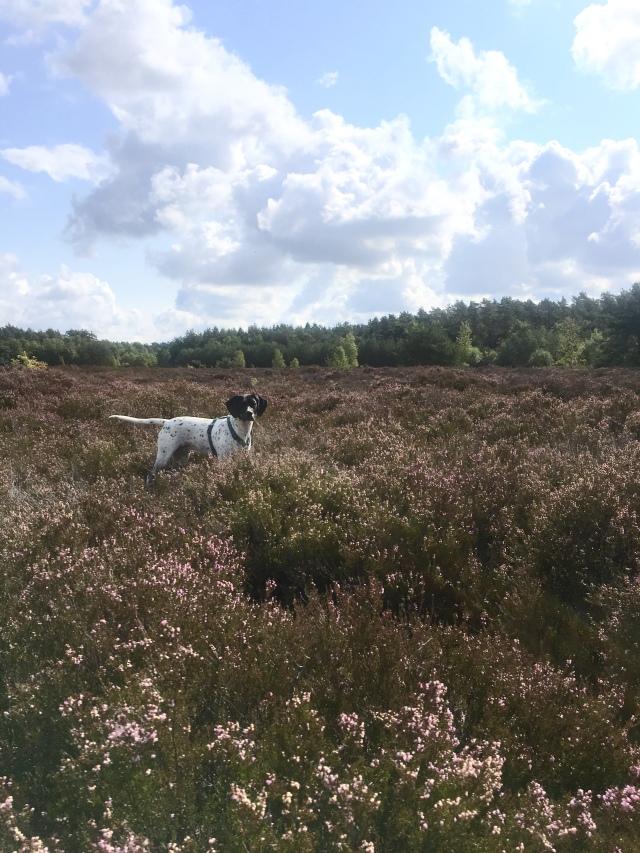 Hund in der Heide