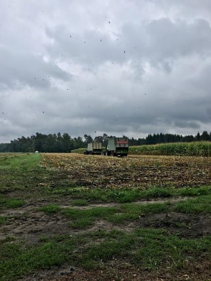 Erntezeit am Maisfeld