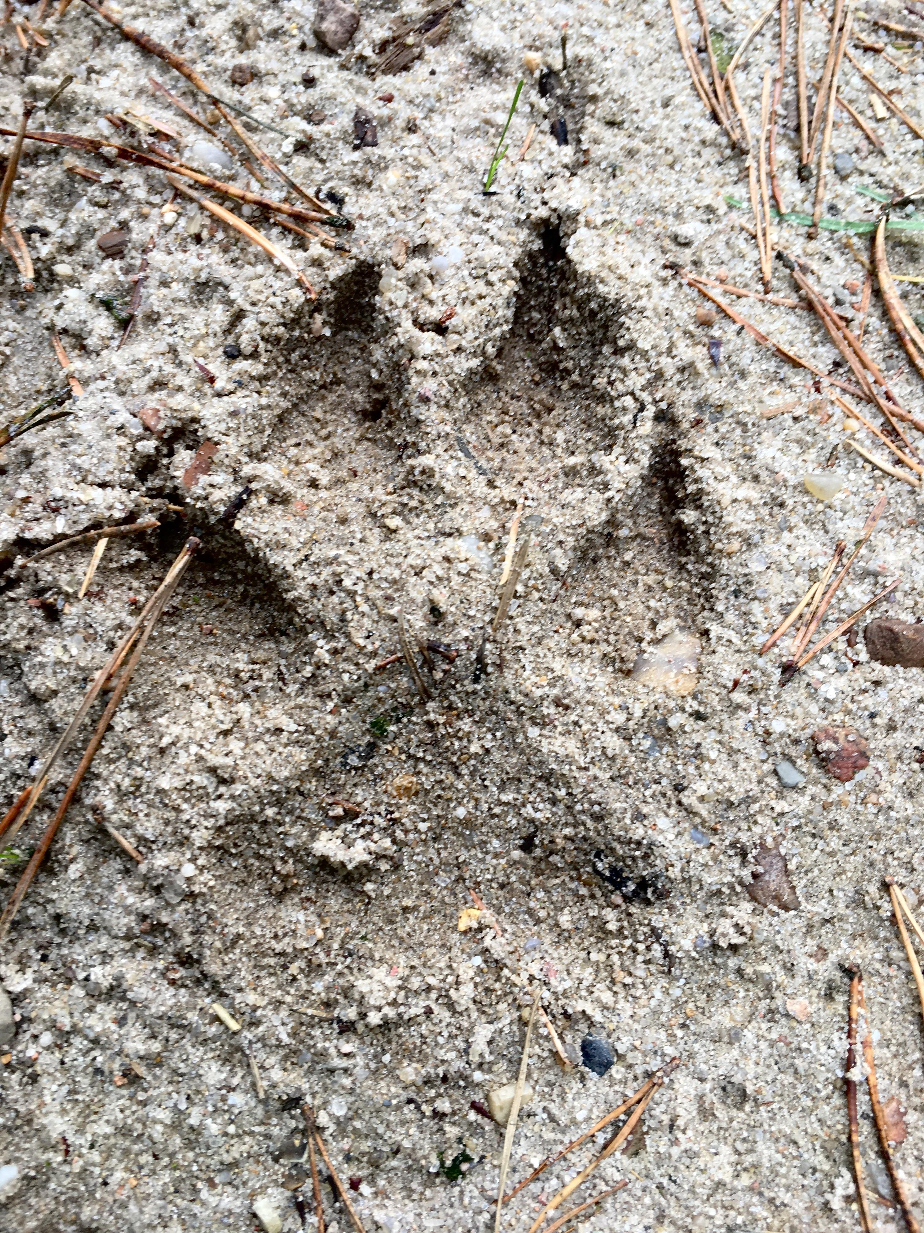 Wolf oder Hund