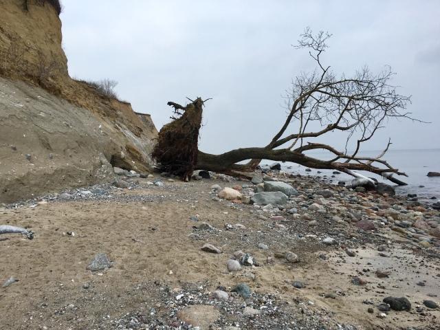 Umgestürzter Baum Brodtener Ufer